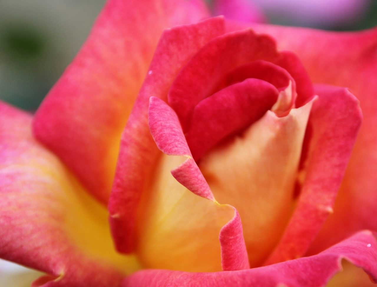 Close-Up Of Hybrid Tea Rose