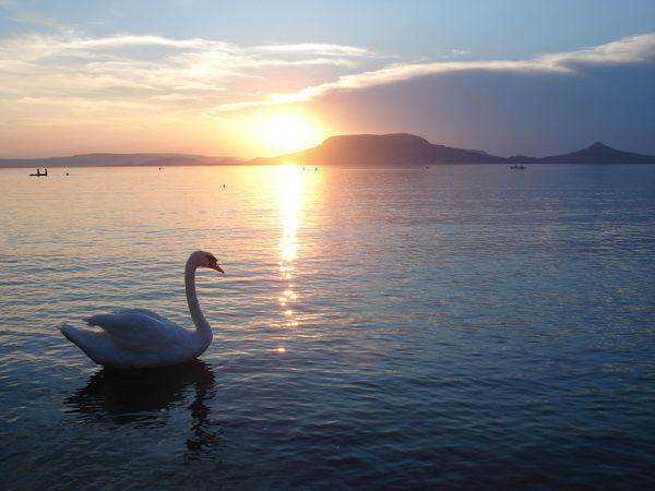 Balaton Beauty In Nature Bird Calm Hungary Lake Lake Balaton Lakeshore Nature Outdoors Reflection Swan Tranquil Scene Water Waterfront