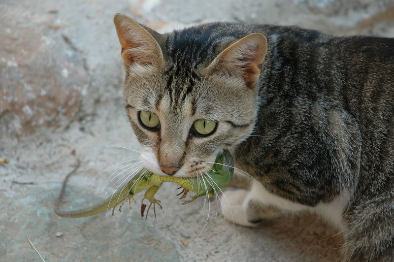 Close-up portrait of cat with lizard