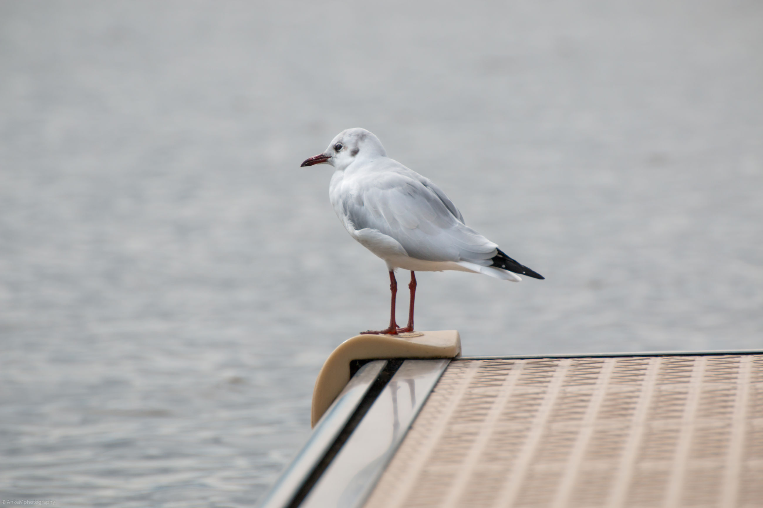 bird, animal themes, animals in the wild, one animal, wildlife, water, sea, seagull, focus on foreground, perching, beak, zoology, nature, tranquility, day, beauty in nature