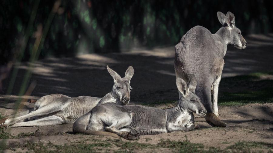 Kangaroos lying on ground in shadow