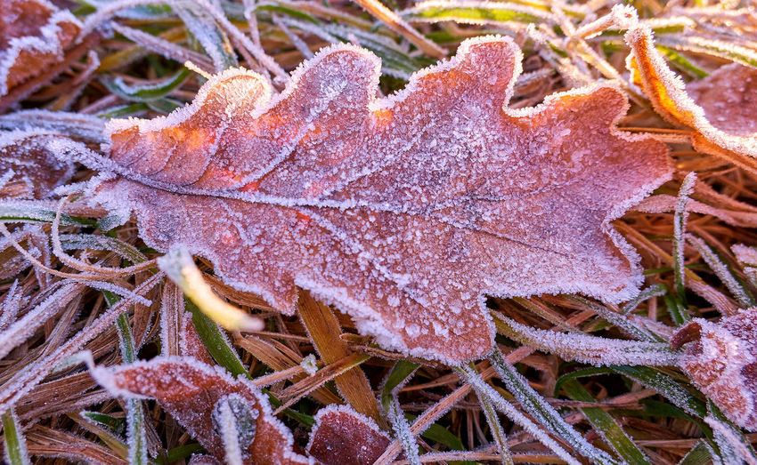 Close-up of frosted dry leaves on field during winter