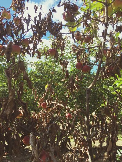 Dead Apple Tree Growth Tree Plant Leaf Nature Plant Life Green Color