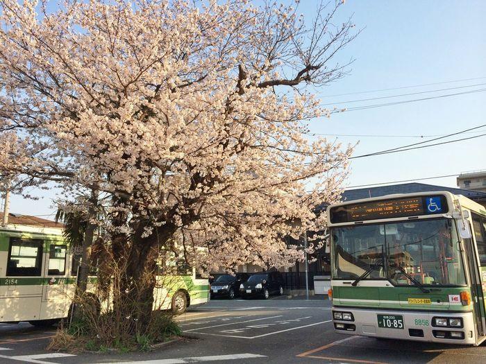 相模大塚 桜