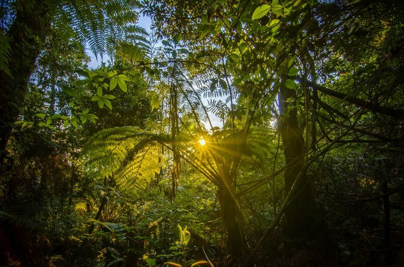 Tree Growth Nature Low Angle View Forest Environment Day Outdoors Beauty In Nature Tranquility No People Sky Sun Folk Folkindonesia Moodygrams Bestnatureshot Nature Photography Forest Trees Forest View Sunrise Livefolk EyeEmNewHere EyeEm Indonesia Nikon D7000 Be. Ready.