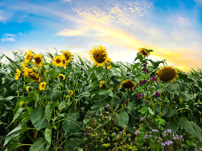 Close-up of sunflowers growing on field against sky