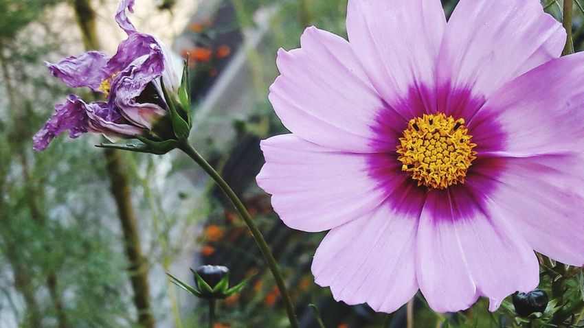 Flower Petal Fragility Purple Nature Beauty In Nature Plant Flower Head Freshness Pink Color Close-up Growth No People Outdoors Day Pollen Focus On Foreground Uncultivated Cosmos Flower