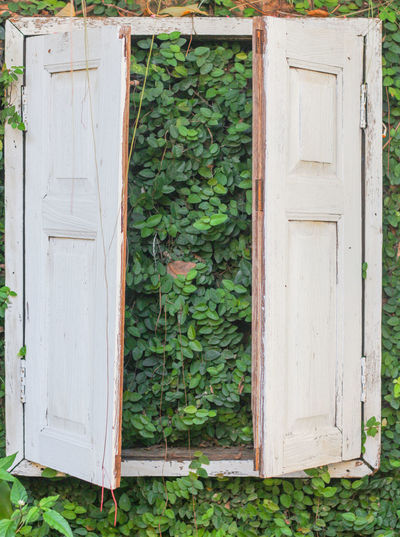 Ivy on white door of house