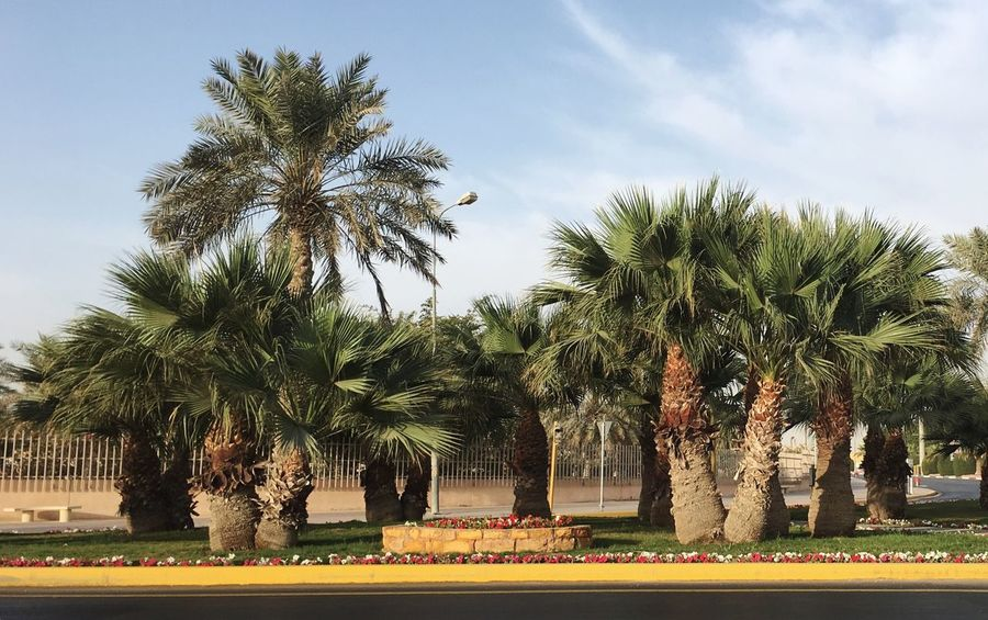 Green palm trees 🌴 dates trees on street iPhone 6S plus KSA Iphone6s EyeEm Nature Lover Iphone6splus Colour Your Horizn EyeEmNewHere Mithatgüney Palm Tree Tree Growth Sky Beauty In Nature Plant Nature Flower Green Color Outdoors Road First Eyeem Photo