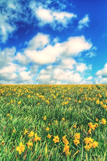 Daffodils Daffodil Yellow Daffodils Flowers Flower Fields Fields Of Gold Farming Agriculture Wildflowers Nature Green Yellow Horizon Blue Sky Spring Springtime Spring Flowers Meadow Beautiful Natural Beauty