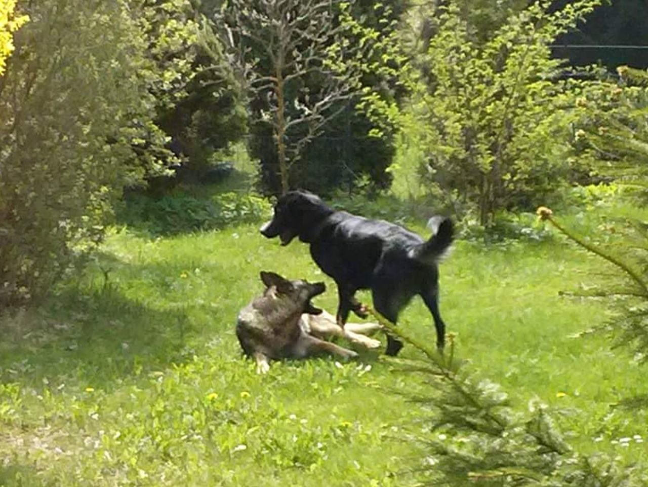 dog, animal, black labrador, plant, mammal, pets, outdoors, domestic animals, animal themes, nature, no people, black color, full length, one animal, jumping, labrador retriever, day, motion, plant part, grass, moose