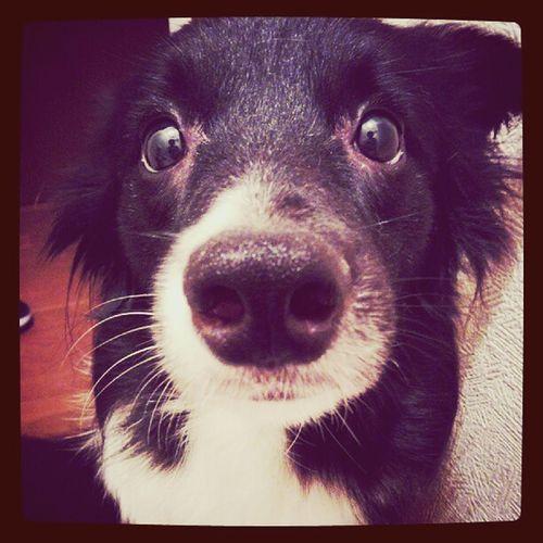 Dog Dog Love Border Collie cute m a baby