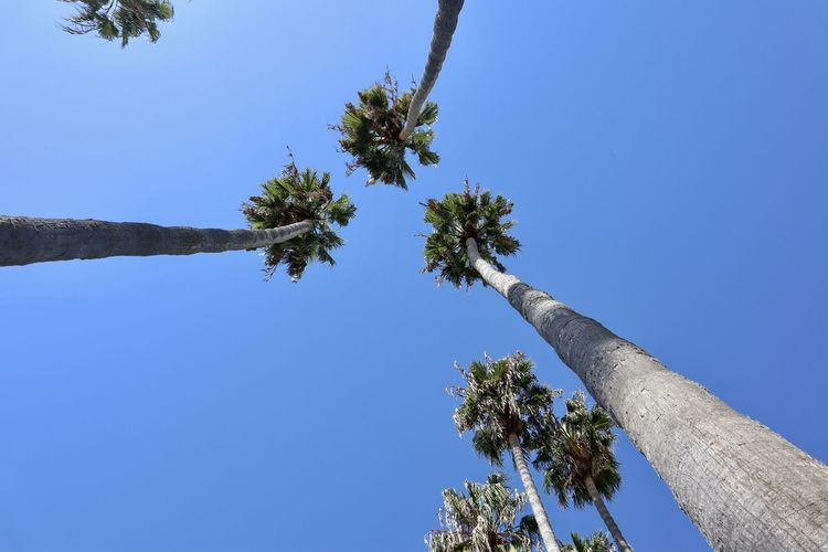 Low angle view of Palm Trees Sky Tree Plant Blue Low Angle View Clear Sky Growth Day No People Beauty In Nature Nature Trunk Tree Trunk Outdoors Palm Trees Tropical Climate