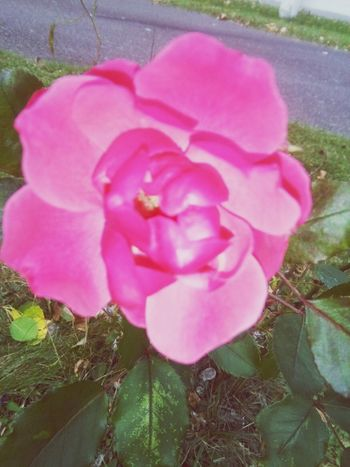 A pink ros🌹 Pink Color Flower