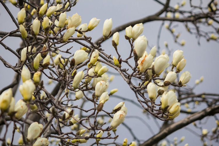 Low angle view of white flowering tree branch