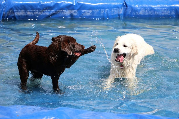 two cute dogs are playing in the pool FUNNY ANIMALS Funny Golden Retriever Happy Swimming Action Active Dog Garden Labrador Retriever Mammal Open Mouth Outdoor Pair Park Party Playing Pool Splash Sport Summer Water Wet