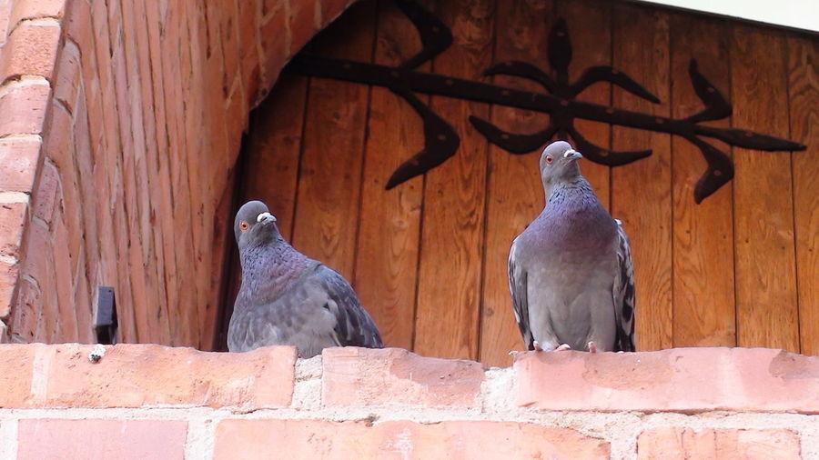 Pigeons perching on wall
