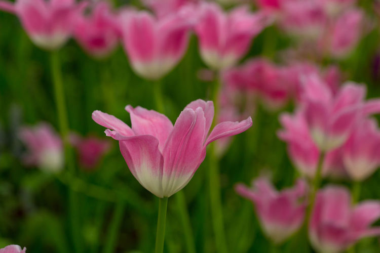 Tulips🌷 Flower Flowering Plant Beauty In Nature Plant Vulnerability  Fragility Freshness Petal Growth Close-up Pink Color Inflorescence Flower Head Nature Focus On Foreground No People Selective Focus Tulip Outdoors Green Color Springtime Purple