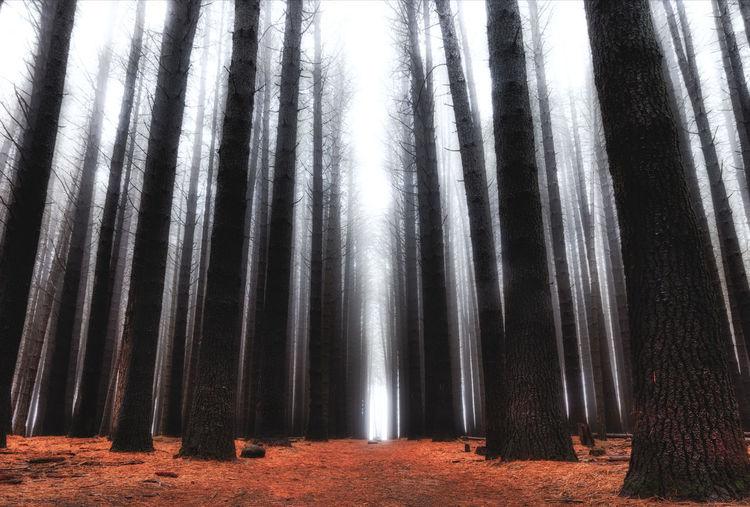 """Dark Forest"" Sugar pine walk, Batlow EyeEmNewHere No People Forest Land Nature Tree Trunk Outdoors Tree Low Angle View WoodLand Sugar Pine Forest Australian Photographers Moody Dark Forest Aurorahdr2019 Luminar 2018 Fog First Eyeem Photo"