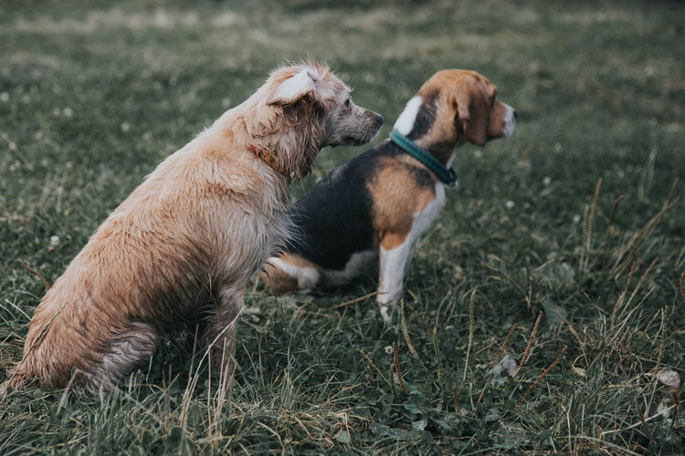 dogs friends Dogs Animal Themes Beagle Close-up Day Dog Dogslife Domestic Animals Field Grass Mammal Nature No People Outdoors Pets Togetherness