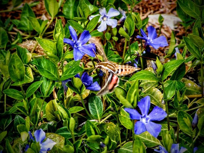 Hemaris thysbe, the Hummingbird Clearwing Moth or Common Clearwing gathering nectar from Vinca major L. greater periwinkle blue flowers in flight Clearwing Vinca Major Beauty In Nature Clearwing Moth Flower Flower Head Flowering Plant Fragility Freshness Growth Hummingbird Insect Leaf Moth Nature No People Plant Plant Part Pollination Purple Vinca Vulnerability