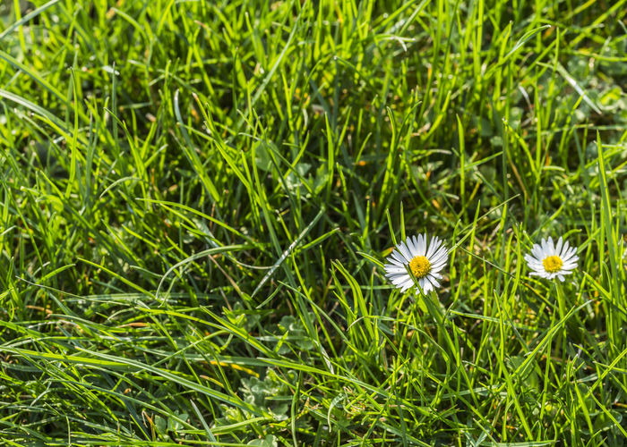 daisy in the meadow - nature Daisy Nature Beauty In Nature Blooming Close-up Day Field Flower Flower Head Fragility Freshness Garden Grass Green Color Growth Macro Meadow Nature No People Outdoors Petal Plant Srping