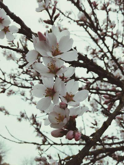 Burgeoning spring First Eyeem Photo FlowerSpring Springtime Spring Flowers Tree Blooming Blossoms  Almond Tree Almond Blossom White Blossoms Outdoors Nature White Color Beauty In Nature Beautiful Burgeoning