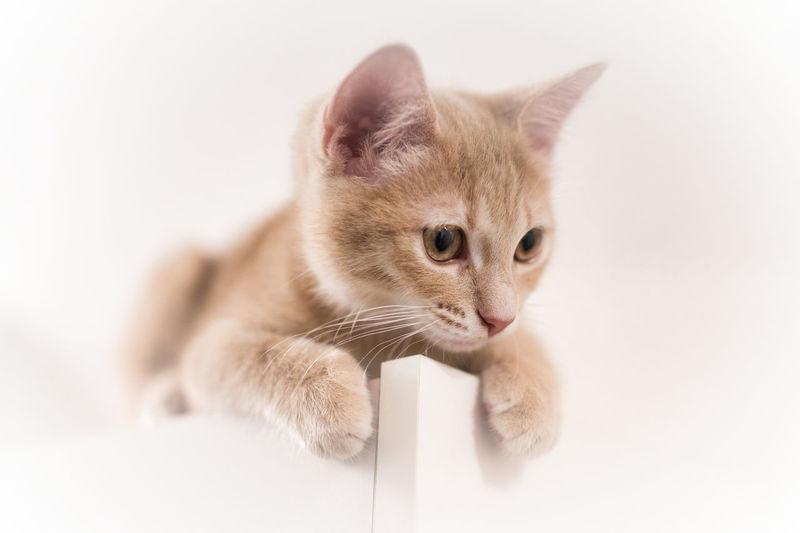 Kitten Pets Ear
