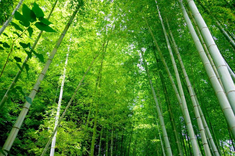 Low angle view of bamboo trees growing in groove