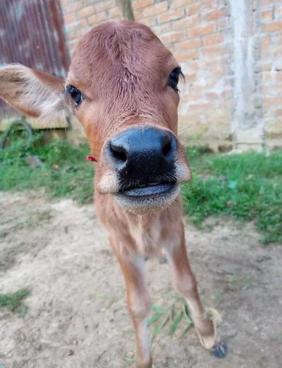 Portrait of cow standing in field