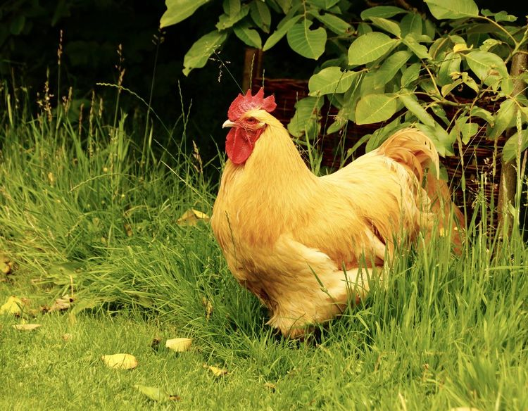 snooty looking rooster Agriculture Animal Crest Animal Themes Bird Chicken - Bird Close-up Cockerel Day Domestic Animals Field Full Length Grass Green Color Growth Hen Livestock Nature No People One Animal Outdoors Plant Rooster Yellow