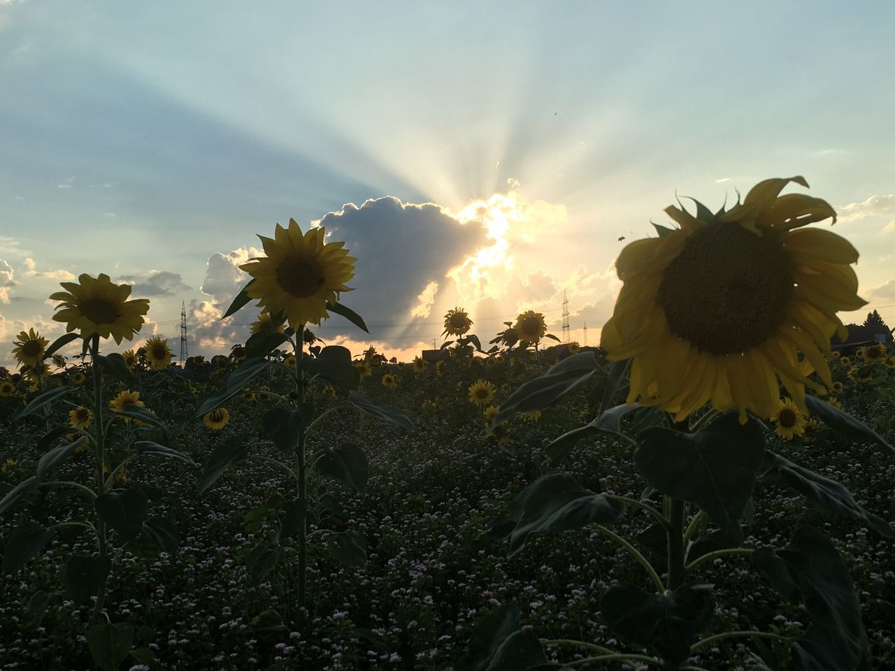 flower, growth, nature, plant, beauty in nature, fragility, field, freshness, petal, no people, flower head, outdoors, sunset, sunflower, sky, agriculture, blooming, close-up, day