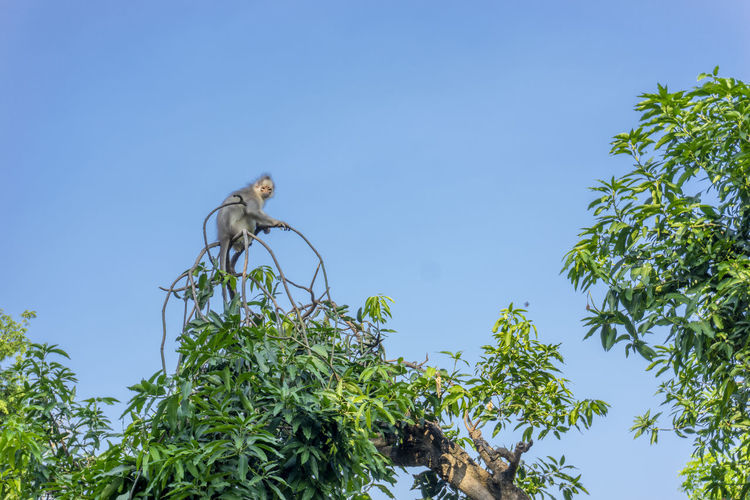 Low angle view of monkey on tree against clear blue sky