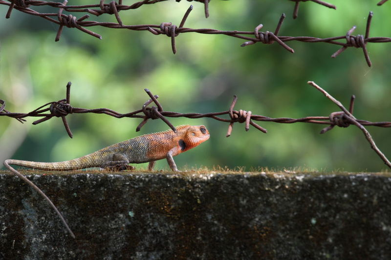 Close-up of a lizard on fence