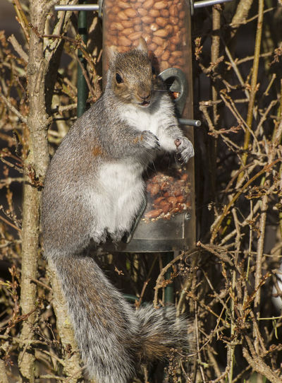 Great Squirrel surprised! Animal Themes Animal Wildlife Animals In The Wild Bid-feeder Day Grey Squirrel Mammal Nature No People One Animal Outdoors Peanuts Squirrel Surprise