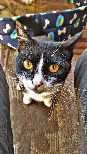 One Animal Animal Themes Domestic Animals Domestic Cat Mammal Pets Looking At Camera Close-up Portrait No People Yellow Eyes Day Feline Outdoors First Eyeem Photo