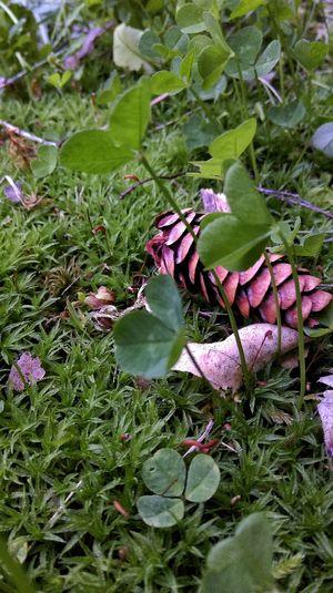 A Hidden World Outdoor Photography Macro Close-up Nature Beauty In Nature Nature Photography Pinecone Clover Moss