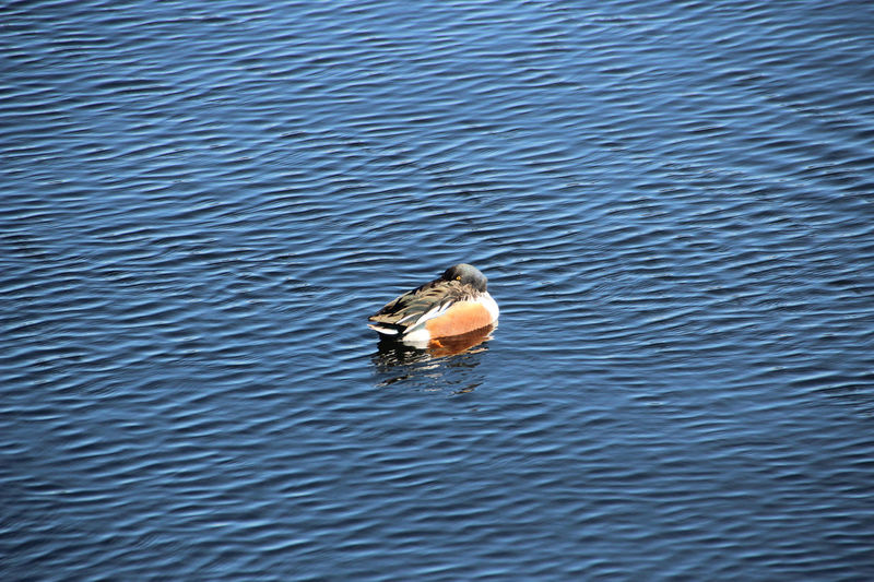 Animal Wildlife Animals In The Wild Bird Central Park Duck High Angle View Lake Nature New York No People Northern Shoveler One Animal Outdoors Pond USA Water Water Bird Wildfowl