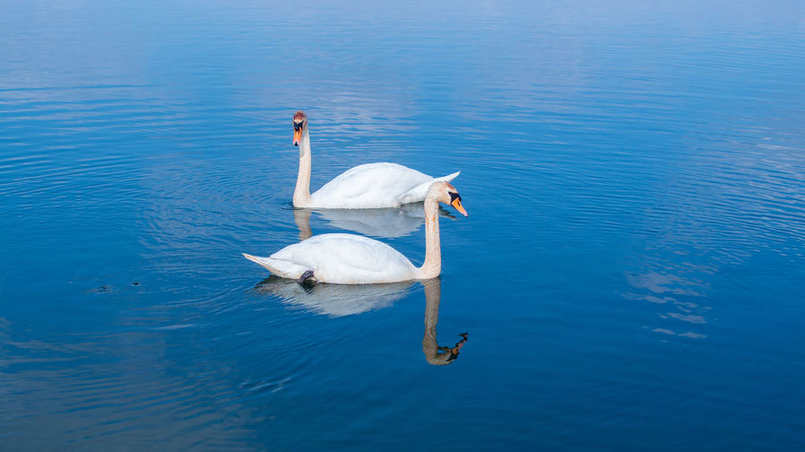 High angle view of large mute swan swans swimming in lake with reflection