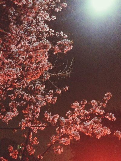 Millennial Pink Blossom under Moonlight Spring