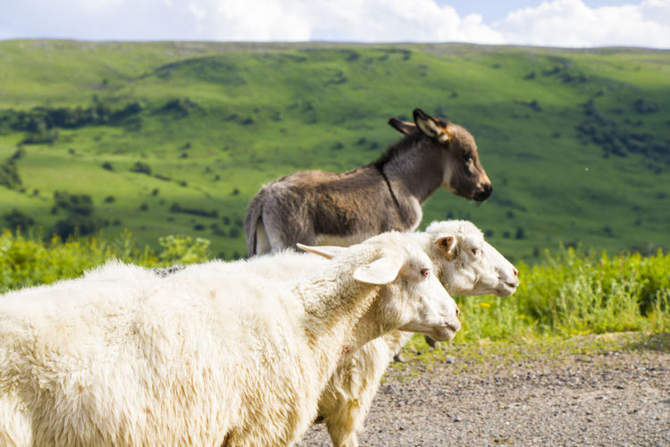 Domestic farm animals on the highway and road, moving flock