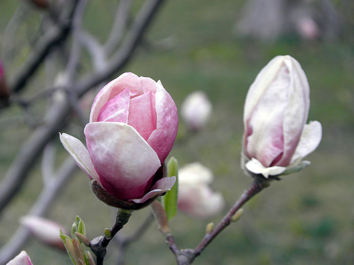 Close-up of pink rose bud