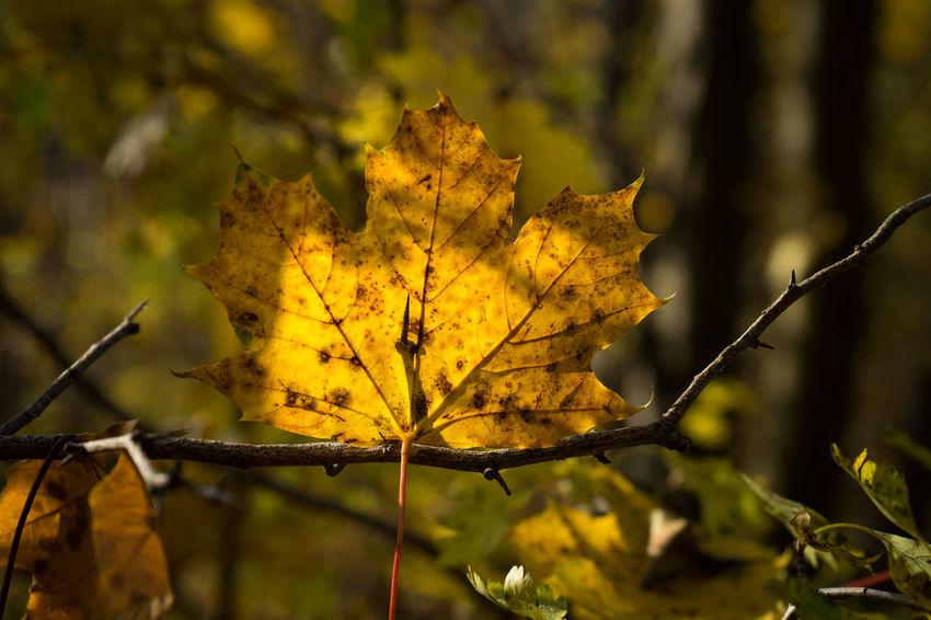 Autumn Autumn Colors Autumn Leaves Autumn🍁🍁🍁 Fall Fall Beauty Fall Colors Fall Leaves Fall_collection Gelbes Blatt Golden October Herbst Herbstblatt Herbstfarben Herbststimmung Yellow Leaves