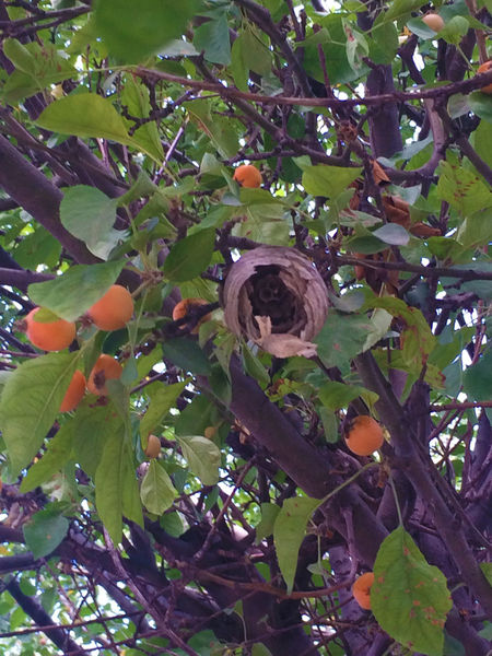 wasp nest in tree CIRCLE Of LIFE Crab Apple Tree Leaf Nature Nature Outdoors Tree Wasp Wasp Nest