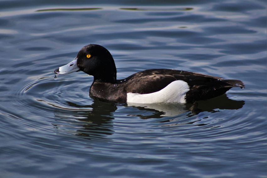 Animal Animal Themes Avian Beauty In Nature Bird Black Color Close-up Day Diving Duck Floating On Water Focus On Foreground Lake Nature No People Outdoors Rippled Selective Focus Water Water Bird