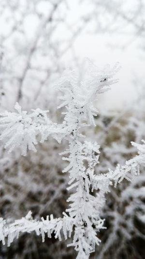 Winter Cold Temperature Nature Frozen Beauty In Nature Weather Close-up No People Branch Outdoors Frozen Shrub Shrub Ice Weather Ice Crystal Beauty In Nature The Winter Is Coming Frozen Nature Winter