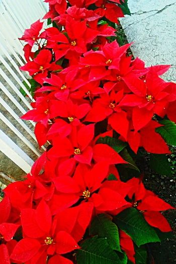 red color Love To Take Photos ❤ Christmas Decoration Christmas Ornament Christmas Flower Still Beautiful Flower Red Fragility Petal Beauty In Nature Nature Growth Leaf Day Freshness No People