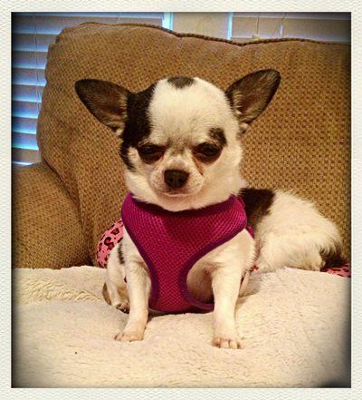 Chicago Chihuahua