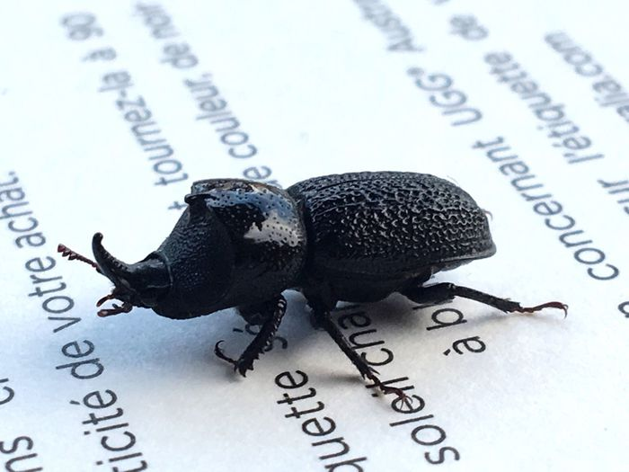Does anyone know what kind of beetle this is?? Text Still Life No People Communication Close-up Paper Indoors  Day Beetle Insect Nature Bug EyeEmNewHere