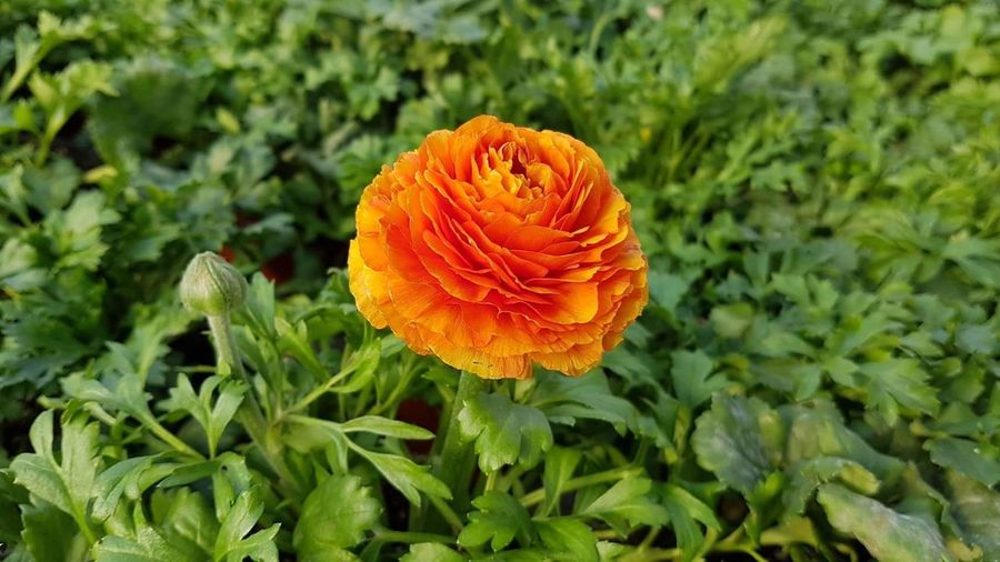 Nature Growth Orange Color Fragility Flower Beauty In Nature Plant Environment Close-up Freshness Flower Head Outdoors Natural Disaster No People Day Ranunculus Ranunculus Bouquet Ranunculus Flower Ranunculuses
